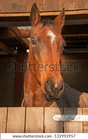 Beautiful horse looking out, over his stable door - stock photo