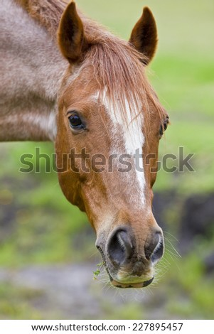 beautiful horse portrait with some grass sticking out of its mouth - stock photo