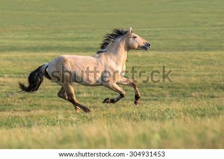 Beautiful horse running free. - stock photo