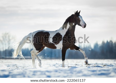 Beautiful horse trot in the snow in field in winter background - stock photo