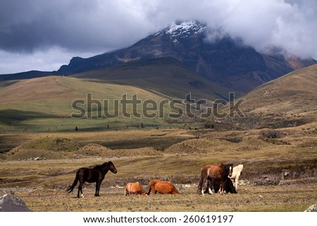 Beautiful horses in Cotopaxi National Park with Cotopaxi volcano in the background, one of the world's highest volcanoes. - stock photo