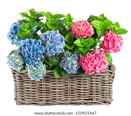 beautiful hortensia isolated on white background. blue and pink hydrangea plants in wicker basket - stock photo