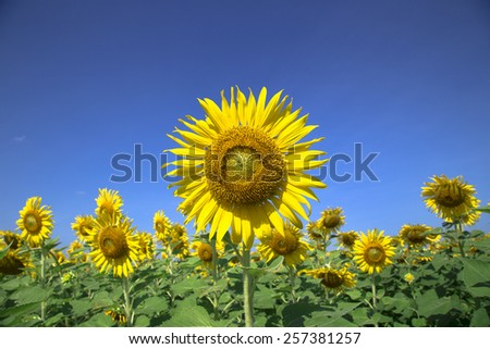 Beautiful huge sunflower bright sunshine day in summer at filed Lopburi, Thailand. - stock photo