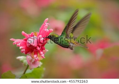 Beautiful hummingbird, Coppery-headed Emerald, Elvira cupreiceps, flying next to nice pink flower. Bird sucking nectar. Feeding scene from tropic wet forest. Bird in the nature habitat, Costa Rica - stock photo