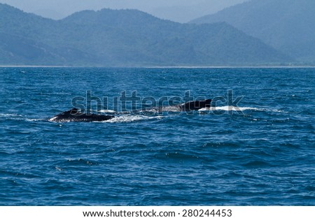 Beautiful humpback whales in the coast of Ecuador, breeding season - stock photo