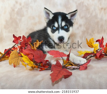 Beautiful Husky puppy with blue eyes laying down with fall decor around her. - stock photo