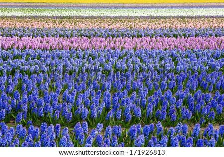 Beautiful hyacinth fields in Holland - stock photo