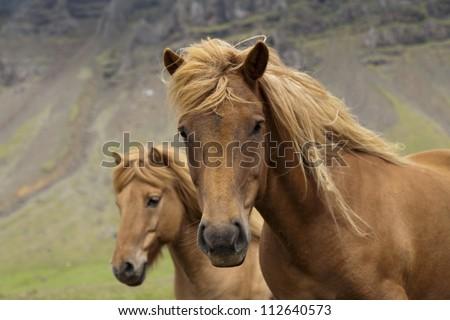 Beautiful Icelandic horses - stock photo
