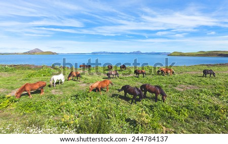Beautiful icelandic horses on a farm near Reykjavik, Iceland - stock photo