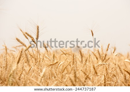 Beautiful Image of Golden Wheat Field, Harvest concept in indian village - stock photo