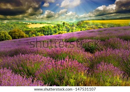 Beautiful image of lavender field  - stock photo