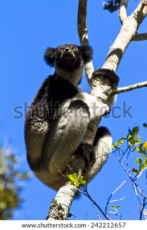 Beautiful image of the Indri lemur (Indri Indri) in Andasibe Mantadia national park in Madagascar - stock photo