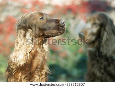 Beautiful Irish Setter dog portrait - stock photo
