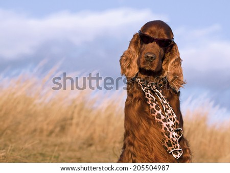 Beautiful Irish Setter with sunglasses and scarf - stock photo