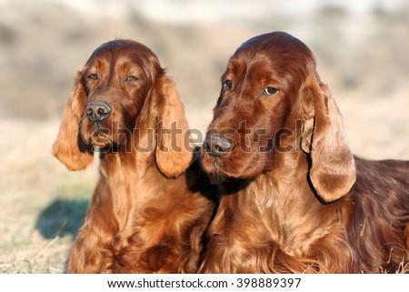 Beautiful Irish Setters looking at the camera - stock photo