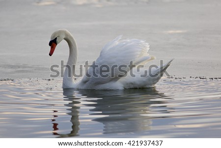 Beautiful isolated photo of a mute swan in the lake - stock photo
