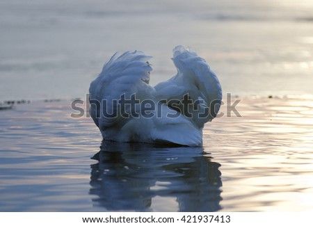 Beautiful isolated photo of a mute swan in the lake on sunset - stock photo