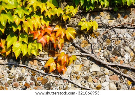 Beautiful Ivy Parthenocissus quinquefolia. Clinging red, yellow, green autumn leaves on the stone wall.   - stock photo