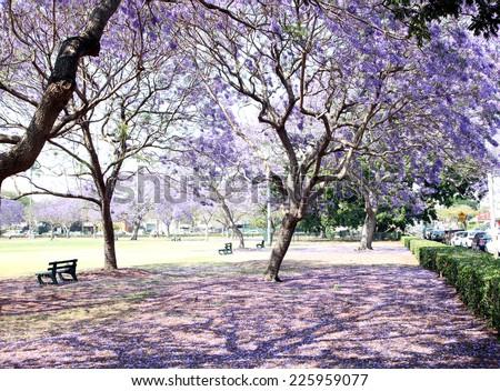 Beautiful Jacaranda trees in New Farm Park, Queensland, Australia - stock photo