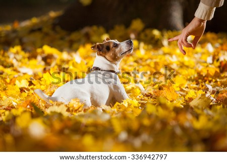Beautiful jack russell terrier lying in yellow leaves in autumn - stock photo