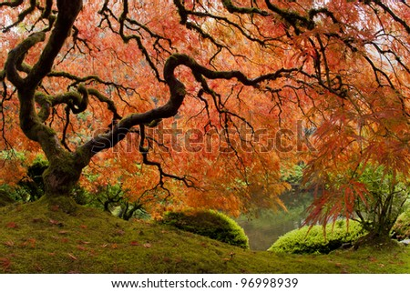 Beautiful Japanese Maple in the fall - stock photo