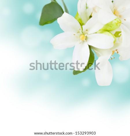 Beautiful Jasmine Flowers Background - stock photo
