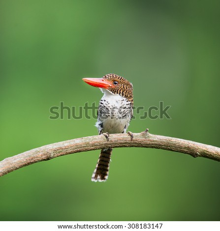 Beautiful kingfisher bird, female Banded Kingfisher (Lacedo pulchella) standing on a branch green background - stock photo
