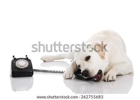 Beautiful labrador dog talking using a phone  - stock photo