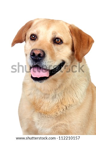 Beautiful Labrador retriever adult isolated on white background - stock photo