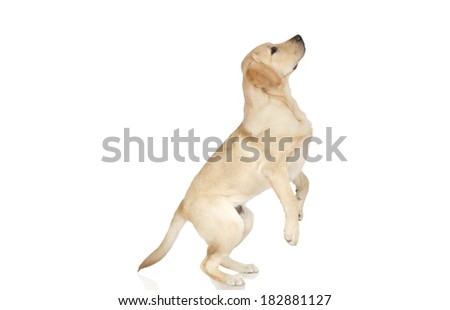 Beautiful Labrador retriever, champagne colored, isolated on white background - stock photo