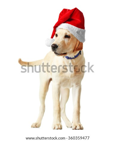 Beautiful Labrador retriever in Santa hat isolated on white background - stock photo