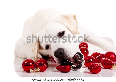 Beautiful Labrador retriever playing with Christmas balls, isolated on white background - stock photo
