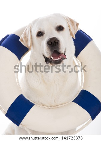 Beautiful labrador retriever sitting on floor with a sailor buoy - stock photo