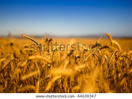 Beautiful landscape image of a wheat field - stock photo