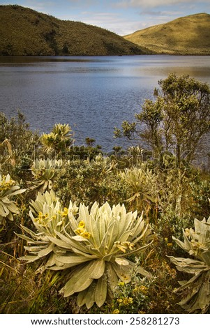 Beautiful landscape of frailejones surrounding lagoon in El Angel, ecological reserve, Carchi, Ecuador  - stock photo