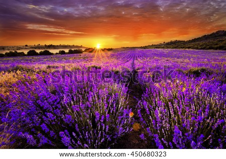 Beautiful landscape of lavender field with setting sun and orange sky - stock photo
