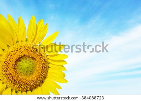 Beautiful landscape sunflower in garden. Abstract blurred on vacation summer soft focus clouds blue sky background. Flowers yellow and green during the daytime with bright sun light. - stock photo