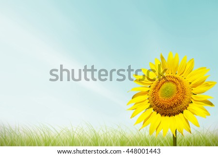 Beautiful landscape sunflower in garden. Abstract blurred on vacation summer soft focus clouds blue sky with green grass background. Flowers yellow and green during the daytime with bright sun light. - stock photo