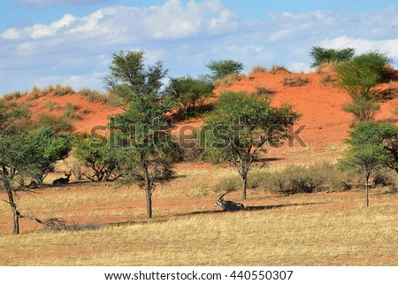 Beautiful landscape with acacia trees and relaxed antelopes in the Kalahari desert at evening light, Namibia, Africa - stock photo