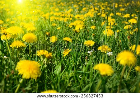 Beautiful landscape with foalfoot flowers among yellow field in sunrise - stock photo