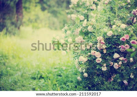 beautiful landscape with Rose Garden - stock photo