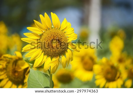 Beautiful landscape with sunflower field over blue sky and bright sun lights and bee - stock photo