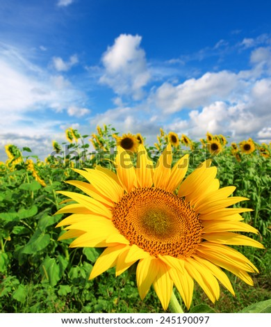 Beautiful landscape with sunflower field over cloudy blue sky - stock photo