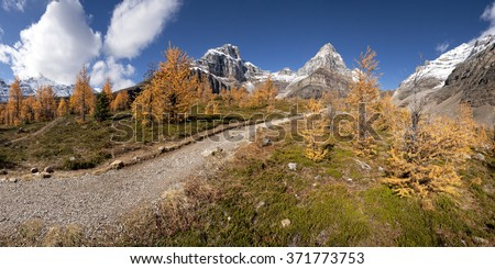 Beautiful Larch Trees, Sentinel Pass Hike, Lake Louise,  Banff National Park, Alberta, Canada Picture taken on September 26, 2015 - stock photo
