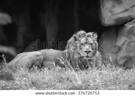 Beautiful large African Lion laying down  black and white - stock photo