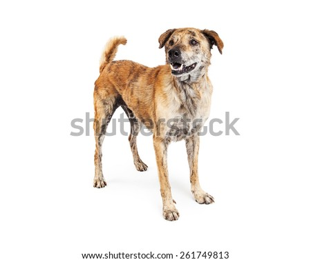 Beautiful large Labrador and Chow mixed breed dog with brindle markings on his coat standing with an open mouth and happy expression. Image taken isolated on a white studio background. - stock photo