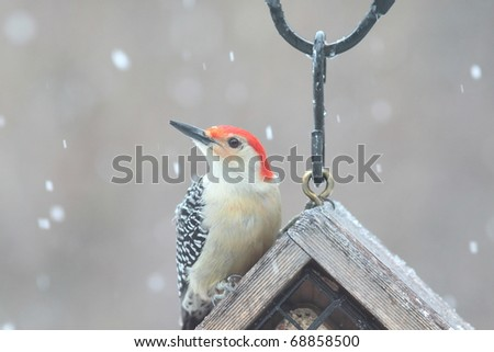 beautiful large red bellied woodpecker on a snowy day - stock photo