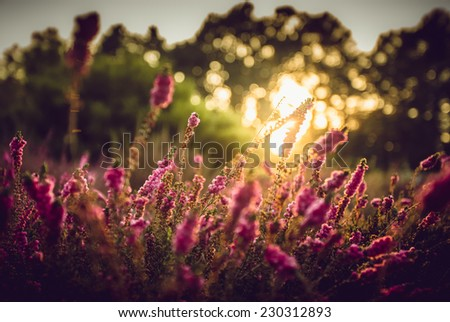 Beautiful lavender field at Provence with sunset - stock photo