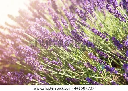 Beautiful lavender field. Sunlight. Selective focus. - stock photo