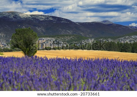Beautiful lavender fields, product of the Provence in the south of France - stock photo